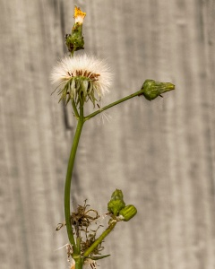 picture of a dying weed